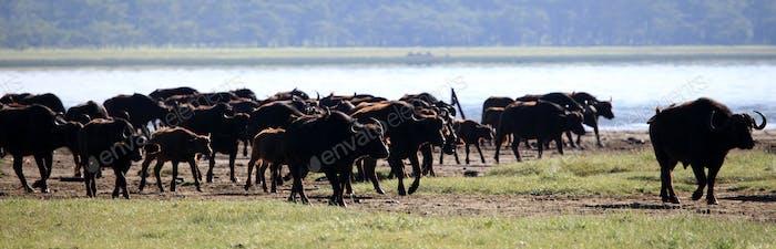 Buffalo Herd - Kenya