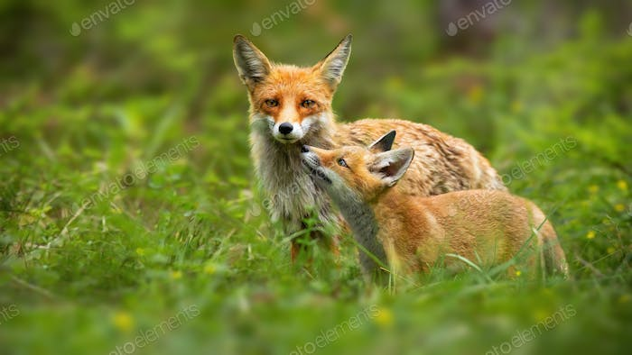 Family of red fox mother and young cub touching with noses in nature