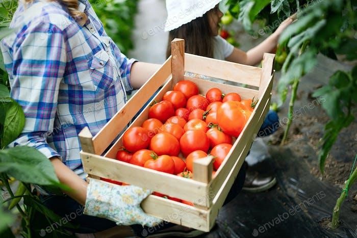 Família cultivando vegetais orgânicos com crianças e família na fazenda