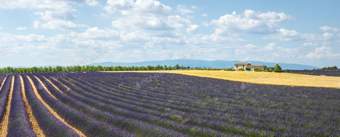 Plateau de Valensole (Provence), Lavendel