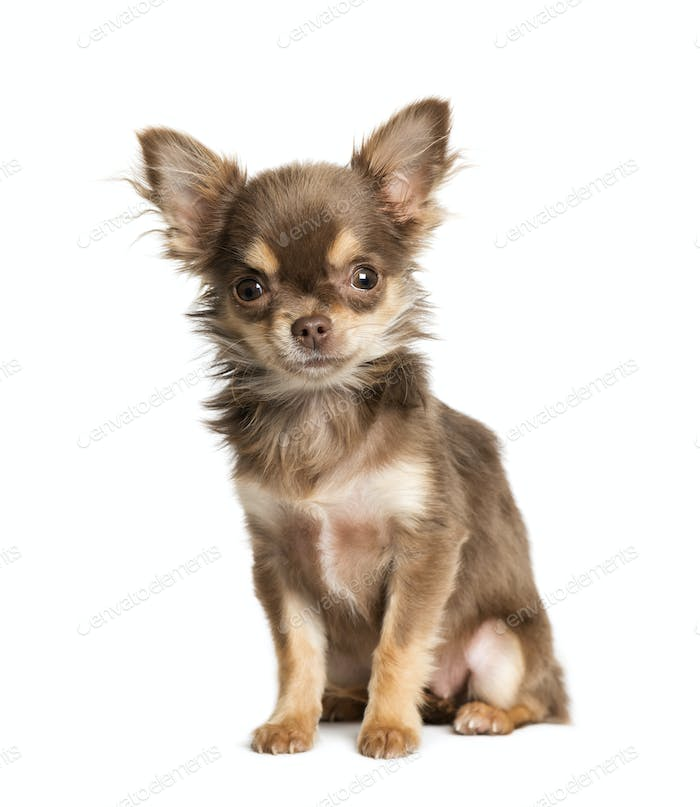 Chihuahua, 5 months old, sitting in front of white background