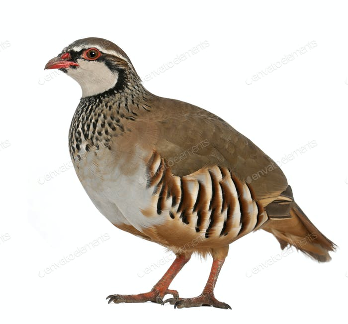 Portrait of Red-legged Partridge or French Partridge, Alectoris rufa