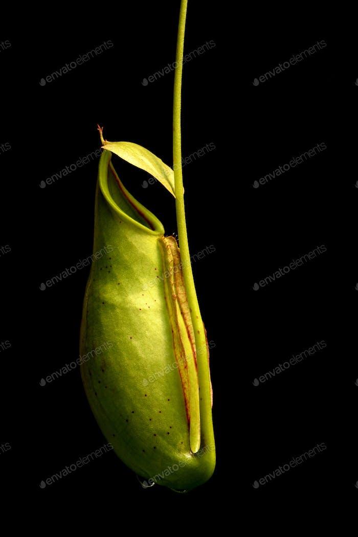 plantas tropicales de jarra