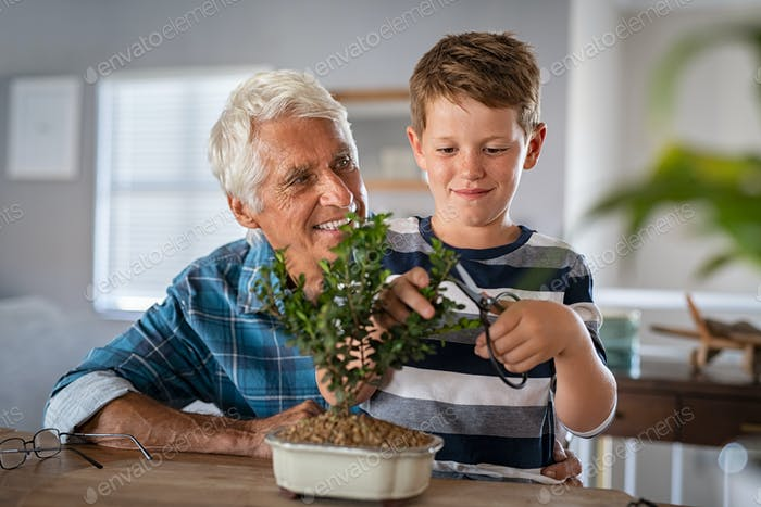 Grandson pruning bonsai plant with grandpa