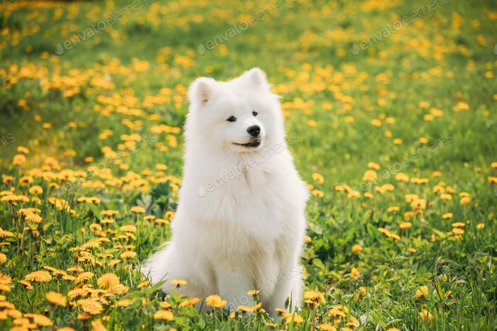 Funny Young Happy Smiling White Samoyed Dog Or Bjelkier, Sammy S