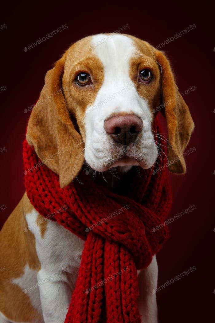 schöner Beagle Hund
