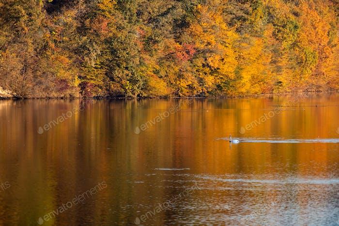 Golden autumn trees and lake. Autumn landscape, sunny morning.