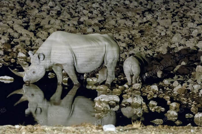 Black rhinoceros cow and calf at an artificially lit waterhole