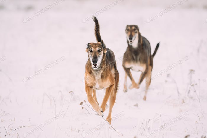 Two Hunting Sighthound Hortaya Borzaya Dogs During Hare-hunting