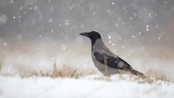 Kapuzenkrähe auf Schnee im Winter während Schneefall