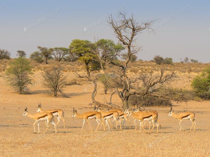 Bachelor Herd of Springbok