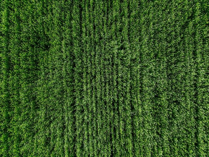 Luftaufnahmen von Green Country Field mit Reihenlinien.