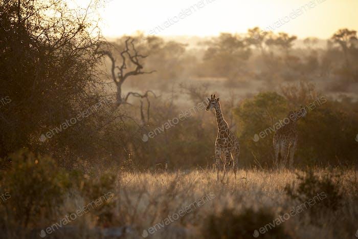 A giraffe calf, Giraffa camelopardalis giraffa, and adult animal at sunset