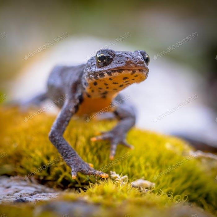 Alpine newt frontal style
