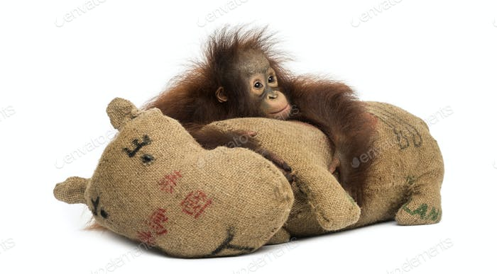 Young Bornean orangutan hugging its burlap stuffed toy, looking sad, Pongo pygmaeus, 18 months old