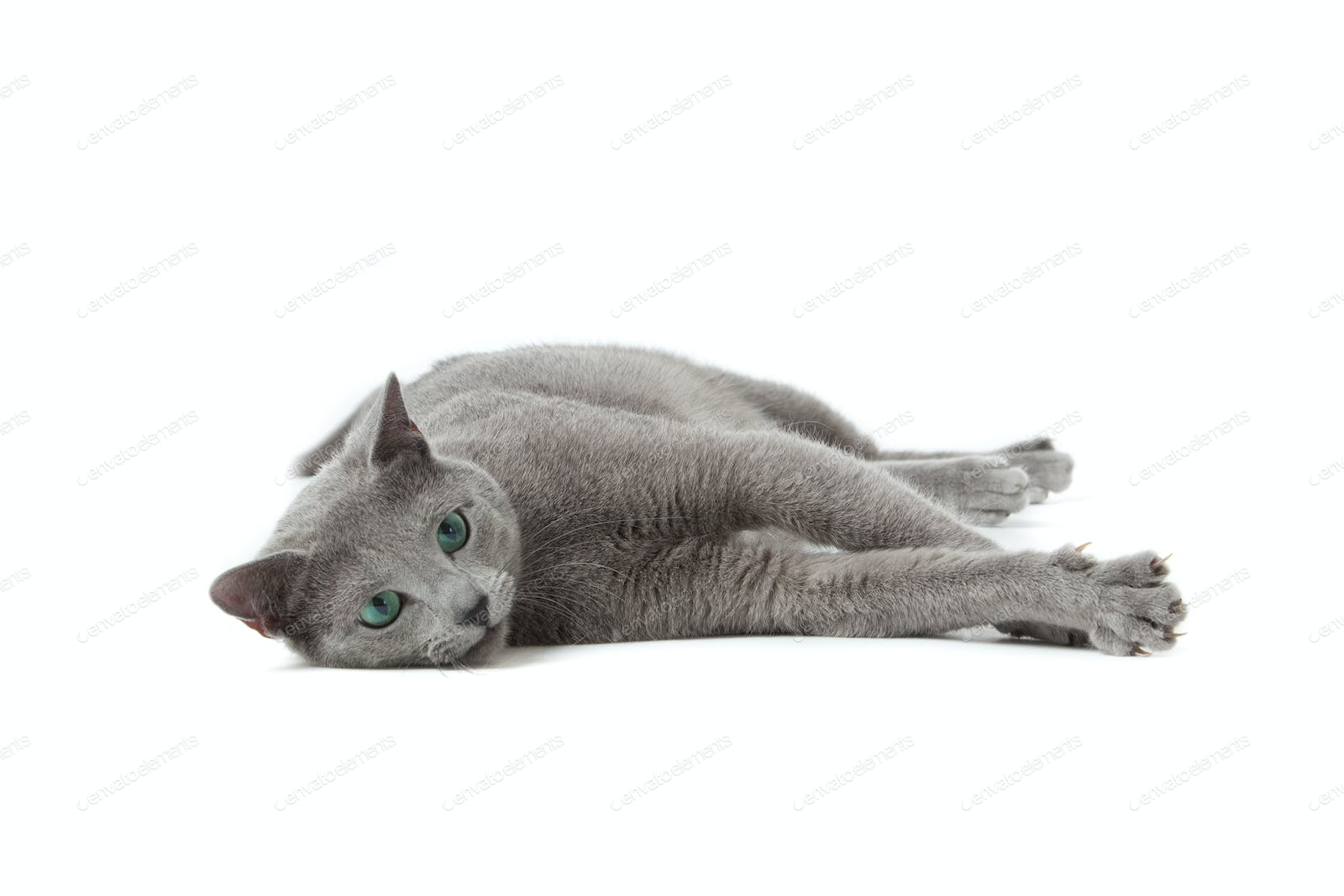 Russian Blue Cat On White Photo By Ewastudio On Envato Elements