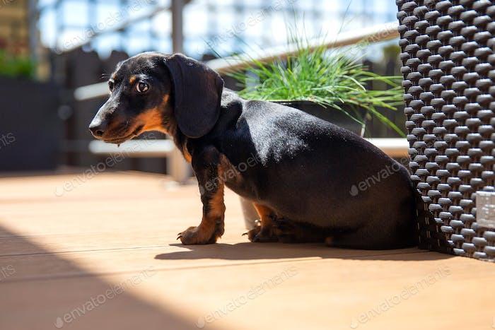 Puppy of dachshund