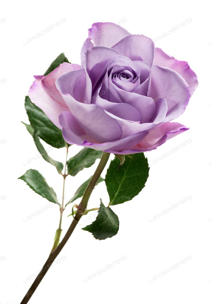 Violet rose isolated against white background