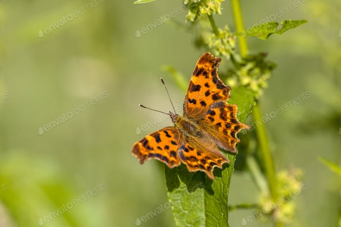 Komma-Schmetterling