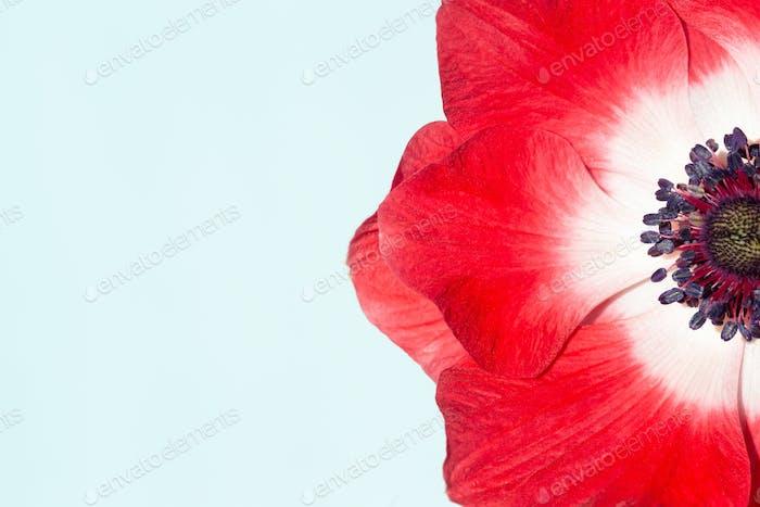 Macro of Red Anemone Flower.