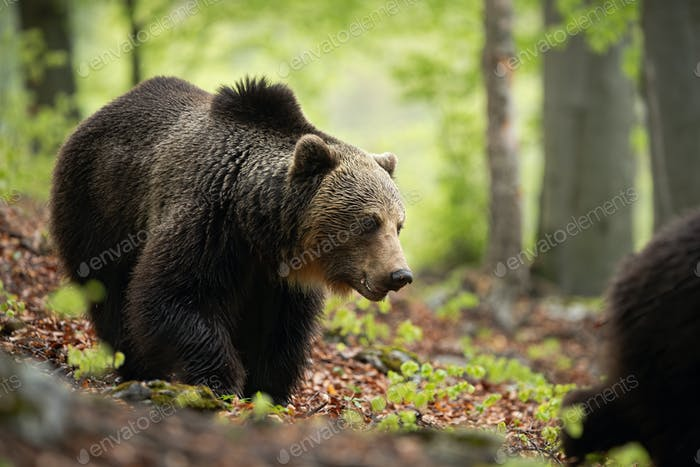 A thoughtful male of brown bear walking through the woods in spring