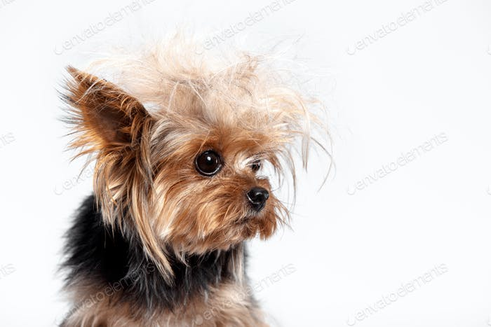 Yorkshire terrier - head shot, against a white background