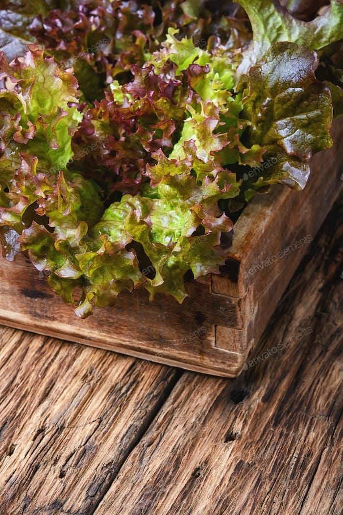 Fresh vegetable lettuce
