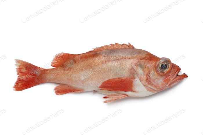 Single redfish
