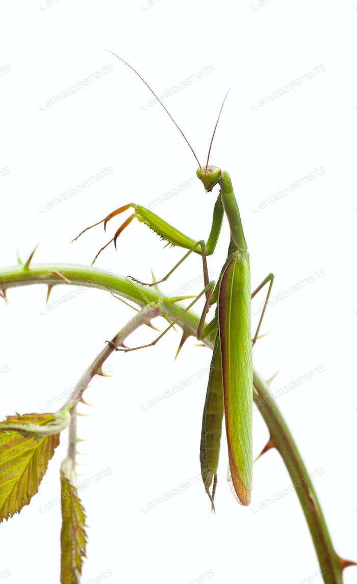 Female European Mantis or Praying Mantis, Mantis religiosa, on stem in front of white background