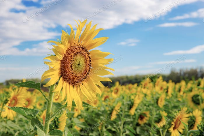 Sunflower on field with blue sky