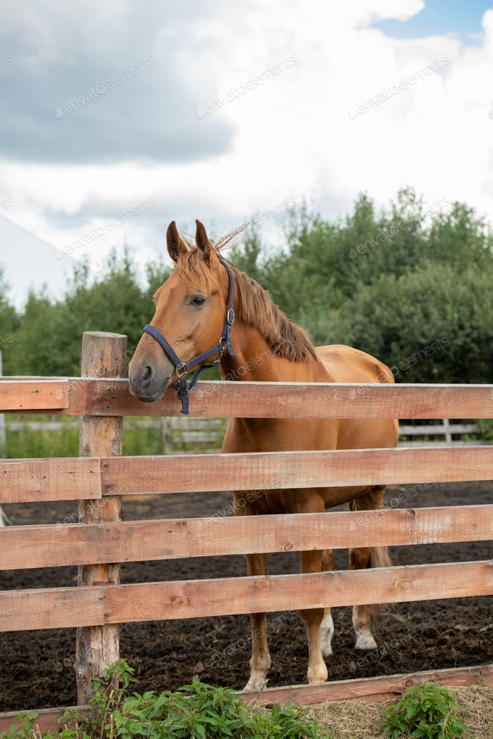 Young healthy brown purebred mare standing behind wooden fence