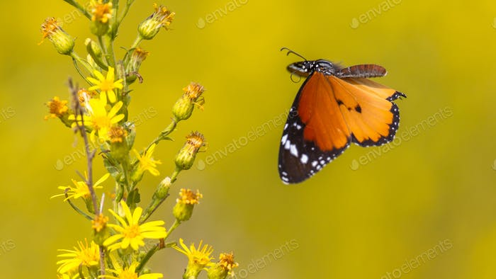 Plain tiger butterfly flying to flower