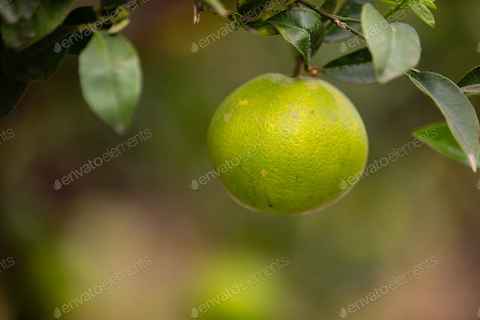 Close-Up Of One Organic Fresh Lemon Hanging in Tree