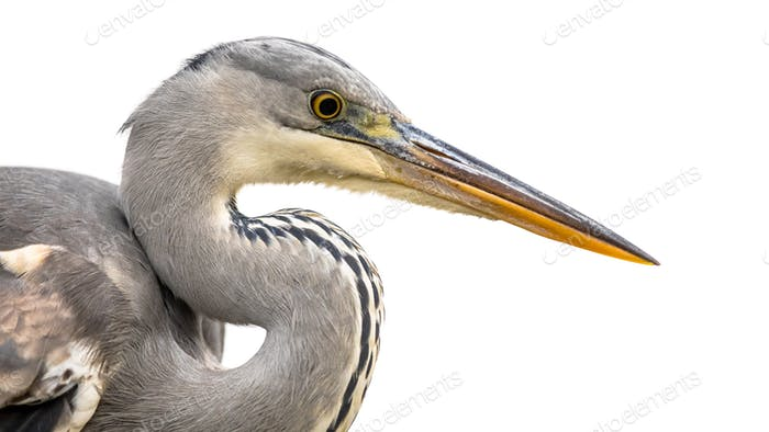 Portrait of Grey heron on white background