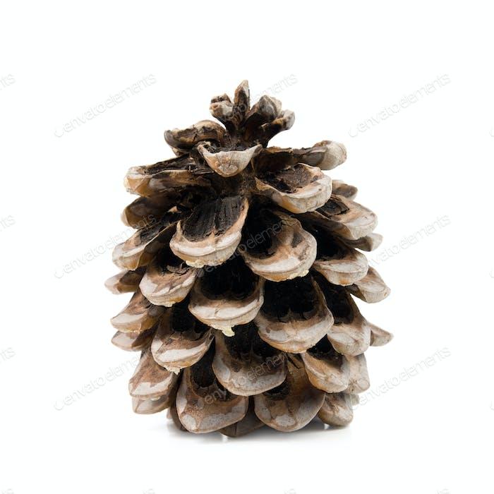 Cedar cones.