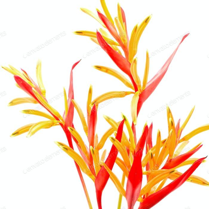 Heliconia Rubra