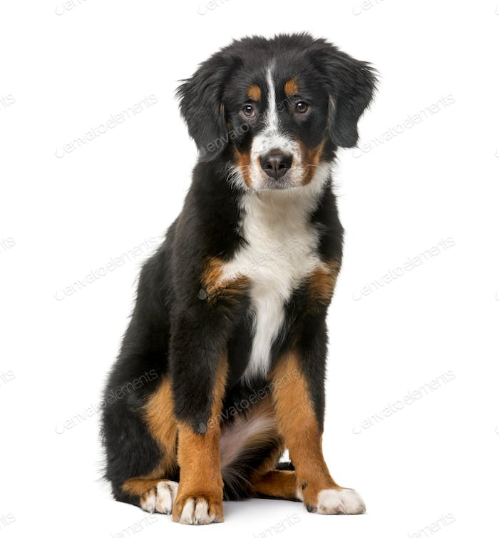 Bernese Mountain Dog puppy (5 months old) in front of a white background
