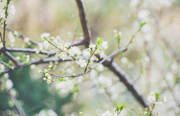 Blooming tree branch, white flowers on tree