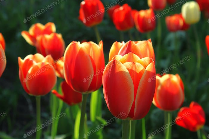 Beautiful bright tulips