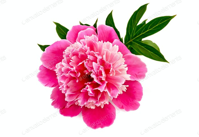 Pfingstrose rosa