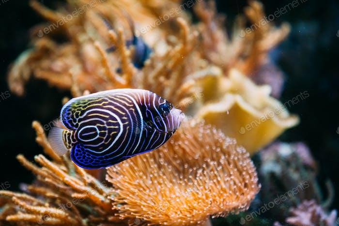 Pomacanthus navarchus bleu ange poisson de mer dans aquarium