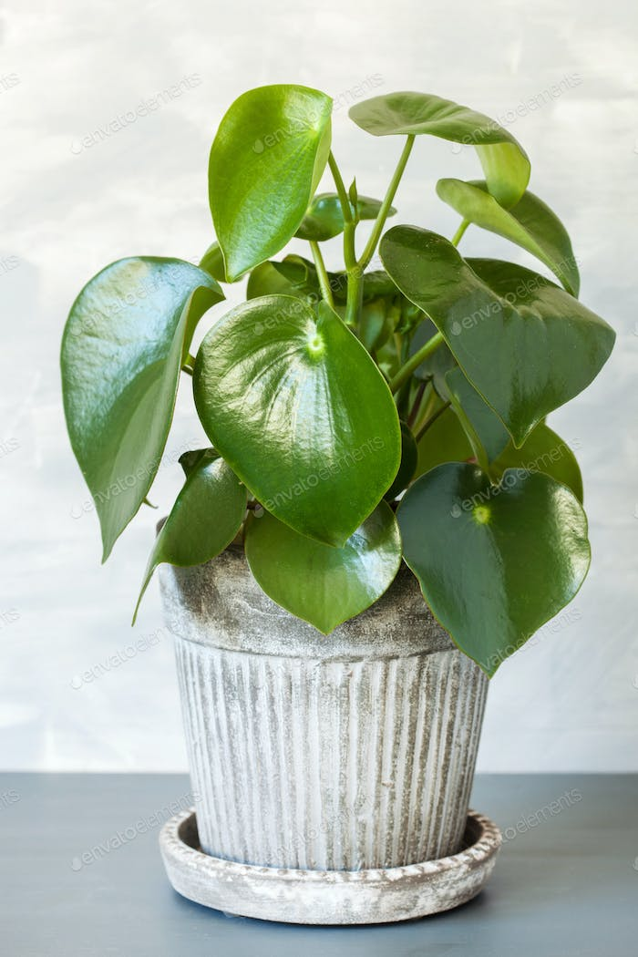 houseplant peperomia in a flowerpot
