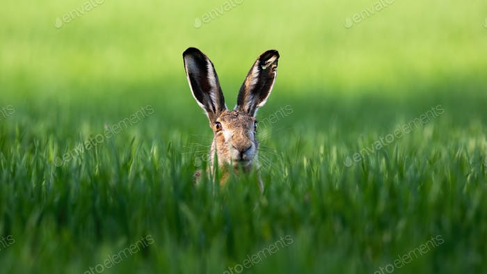 Wild brown hare looking with alerted ears on a green field in spring