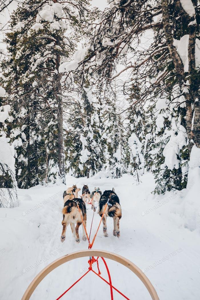 Reiten Husky Hunde Schlitten im Schnee Winterwald in Finnland, Lappland