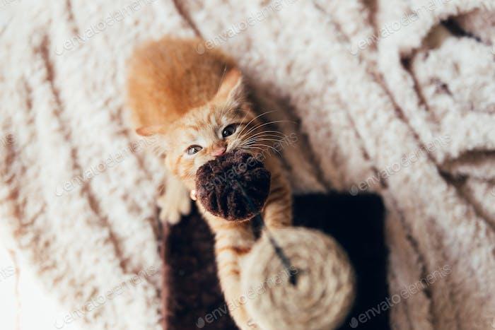 Cute ginger kitten sleeps