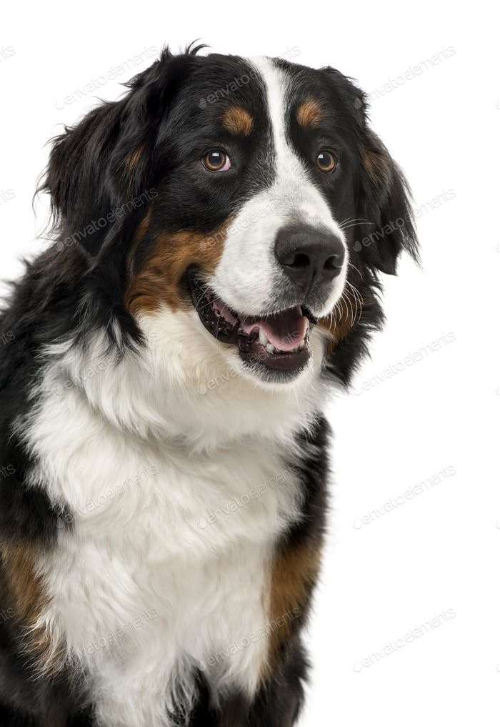 Close-up of a Bernese Mountain Dog, 1 year old , isolated on white