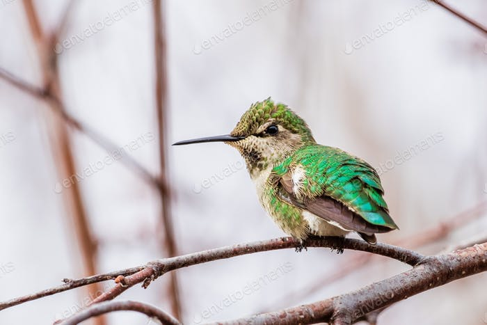 Anna's Hummingbird perched on a branch; blurred background, San Francisco bay area, California