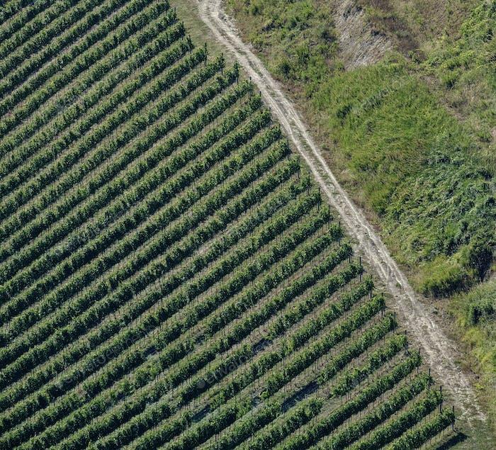 Landscape in Romagna at summer: vineyards