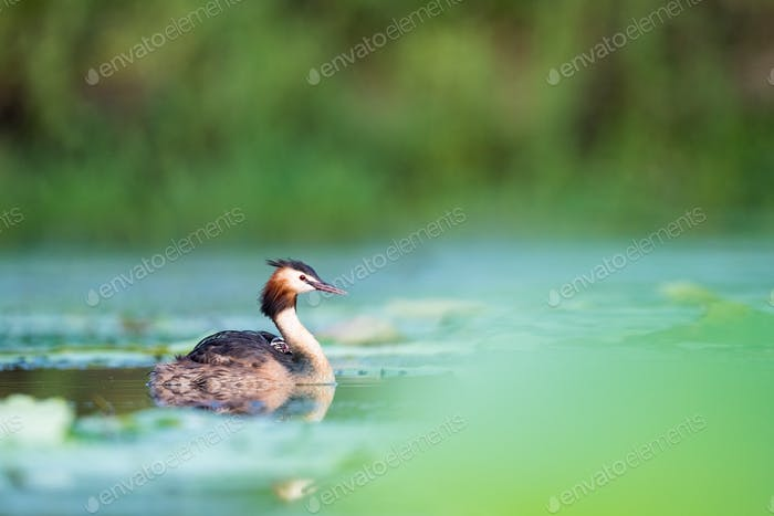 beautiful great crested grebe