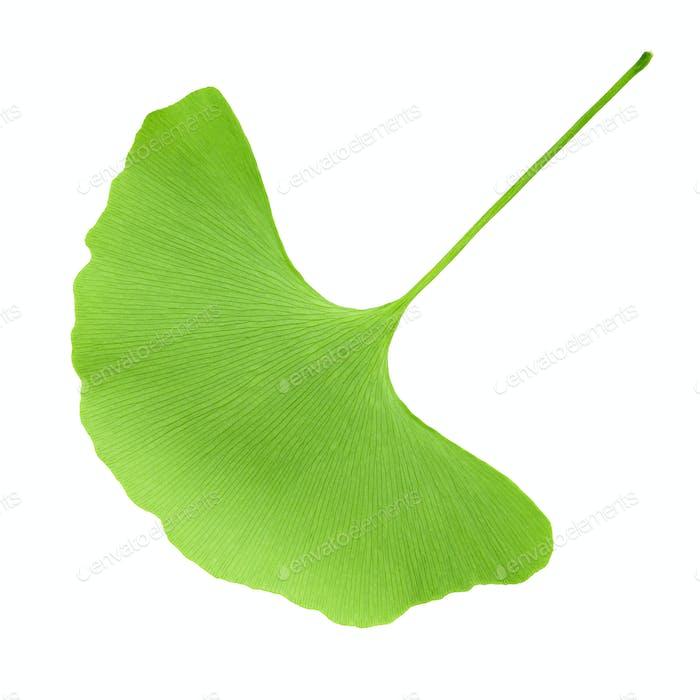 green ginkgo leaf